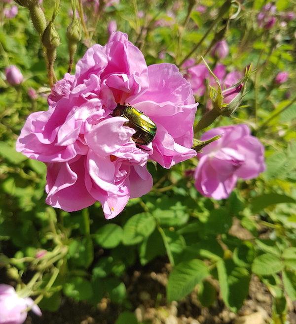 Rose centifolia