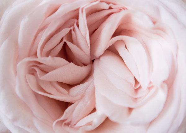 Rose aux cent pétales