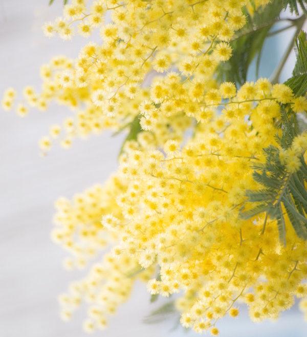 Mimosa du Tanneron